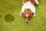 How to Know If Your Dog Has a Urinary Tract Infection