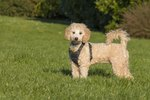 The Characteristics of a Bichon Frise Poodle Mix