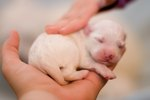 Eyesight Development in Newborn Puppies