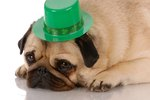18 Pugs Who Are So Excited That St. Patricks Day Is On A Friday