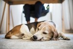 Possible Complications for Dogs After Spaying