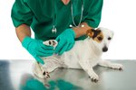 Complications of Bladder Stone Surgery in Dogs