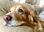 Signs & Symptoms of End-Stage Canine Congestive Heart Failure