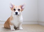 How to Tell If a Dog's Ears Will Stand