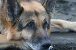 Muscle Wasting in Dogs