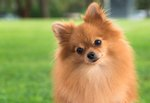 Pomeranian Kenzie Bites Off More Than He Can Chew