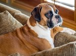 American Boxer Dogs Vs. German Boxer Dogs