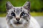 100 Blue-Eyed Cat Names