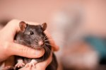 Study Finds Kids Are Happier With Pet Rats Than Dogs or Cats