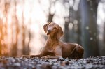 Vizsla Dog Breed Facts & Information
