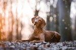 Vizsla Dog Breed Facts & Information