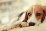 How the Last Stages of Kidney Failure Affect Dogs