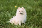 The Life Span of Pomeranians