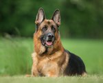 What Are the Treatments for Diarrhea in German Shepherd Dogs?