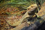 What Fruits & Vegetables Can I Feed a Bearded Dragon?