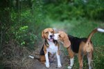 106 Names For Your Beagle