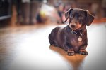 How Many Different Types of Dachshunds Are There?