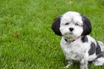 How to Housebreak Your Shih Poo
