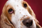 What Makes The Whites Of Your Dog's Eyes Red?