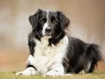 Top Obedient Dog Breeds