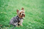 Common Traits of Yorkies