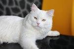 Turkish Angora Cat Breed Facts & Information
