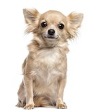 How to Know When Chihuahuas Are Pregnant