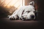 Sleep Aids for Dogs