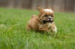 How to Take Care of a Shih Tzu-Yorkie Mix Puppy