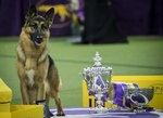How to Get Your Dog into the Westminster Kennel Club Show