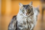 160 Names For Your Maine Coon Cat