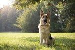 300 Popular German Shepherd Dog Names