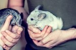 Do Chinchillas Make Good Pets?