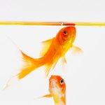 Signs of Overfeeding Goldfish