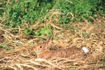 How to Determine the Age of a Baby Cottontail Rabbit