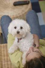 How to Care for Your Shih-poo Step by Step