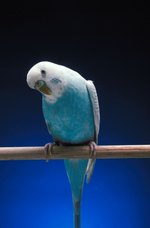How to Treat Parakeet Mites