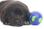 Gray Hair Problems in Labrador Retrievers