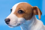 How to Train a Jack Russell Mix