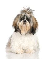 How to Cut a Shih-Tzu's Hair Between Its Eyes