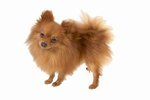 Do Pomeranians Have Hair or Fur?