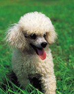 At What Age Do Poodles Change Color?