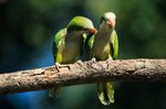 How to Tell a Male Green Cheeked Conure From a Female
