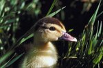 How to Mark & Identify Baby Ducks and Chicks