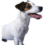 How to Successfully Train a Jack Russell Terrier