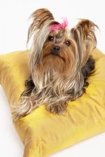 How to Remove Eye Gunk & Hard Fur in a Yorkie