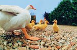 How to Make a Domestic Duck Nesting Box