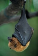 What Eats a Bat in the Rainforest?