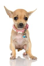 How to Discipline Chihuahua Puppies