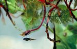 What Kinds of Frogs Are Black Tadpoles?